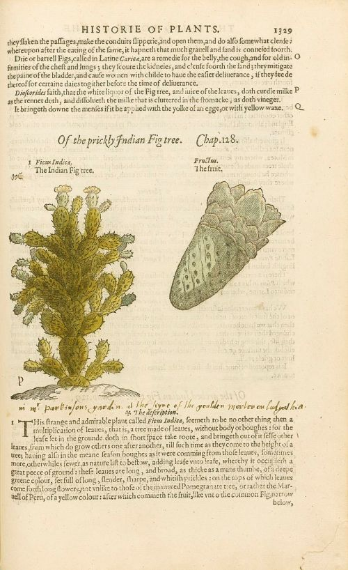 800px-Historie_of_Plants_by_John_Gerard