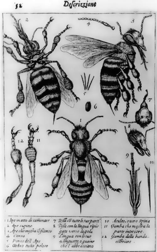 Stelluti Bees1630