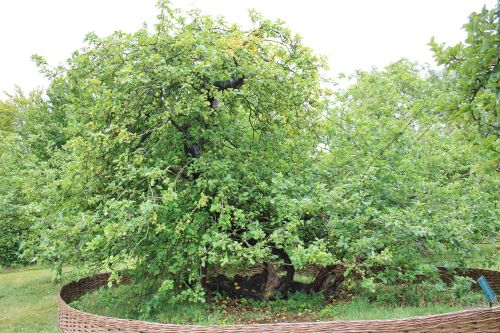 The Woolsthorpe Manor apple tree Source:Wikimedia Commons